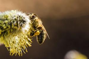 honey-bee-pollen